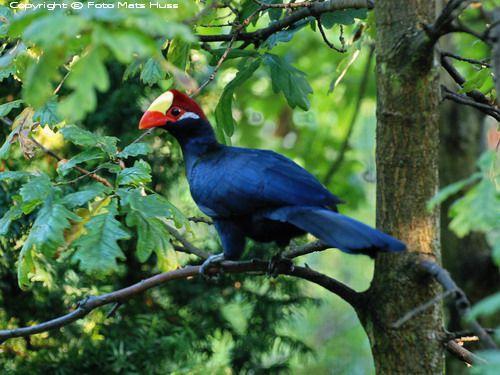 чай синяя птица