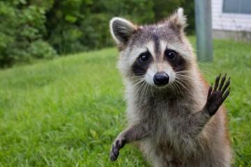 raccoon-funny-1280x800