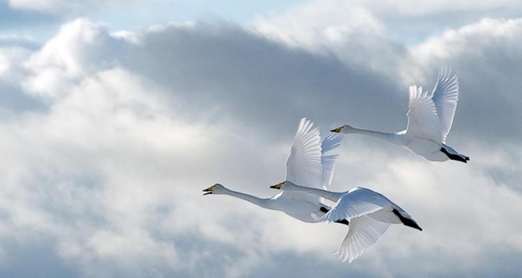 Рисуем гусей-лебедей, или Эти трудные сиблинги
