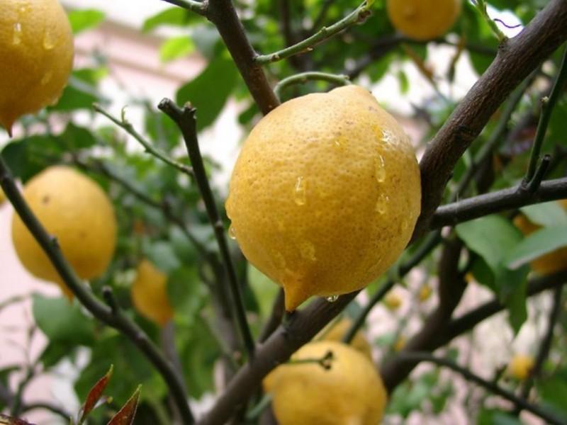 лимон2