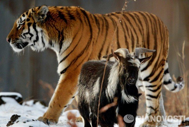 Тигр Амур и козел Тимур: победила дружба
