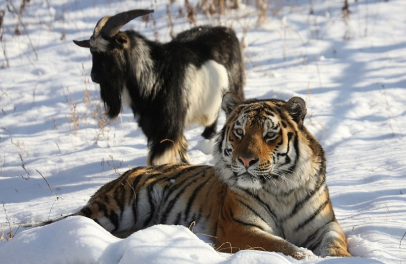 Тигр Амур и козел Тимур: продолжение истории ( видео)