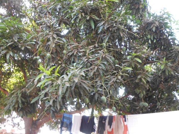 Дерево манго во дворе