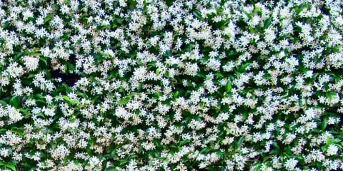 star-jasmine2
